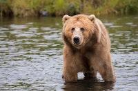 Brooks Falls Brown Bears: Katmai National Park, Alaska