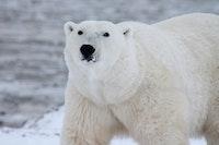 Polar Bears International: Wapusk National Park, Manitoba, Canada